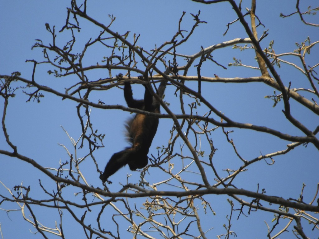 A family of Howler monkeys slept in the trees above our tent. Happily they didn't make too much noise or toss poop or pee on us as they have been known to do.