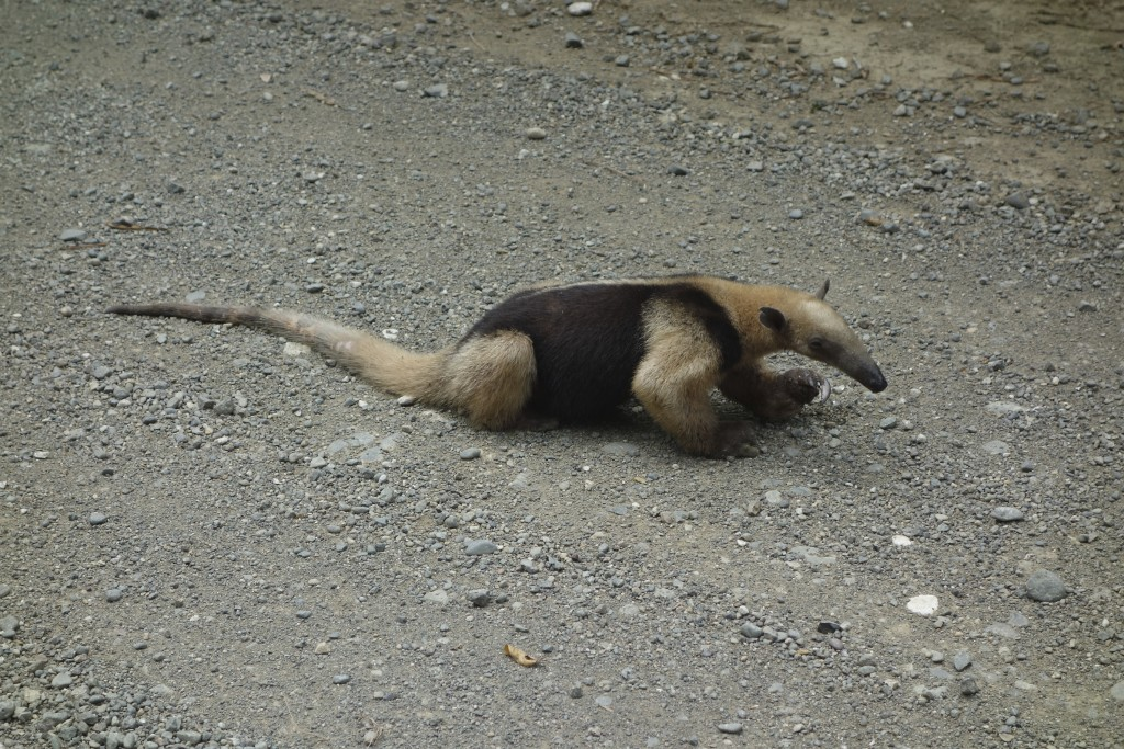 Why did the anteater cross the road? So Mike could take its picture!