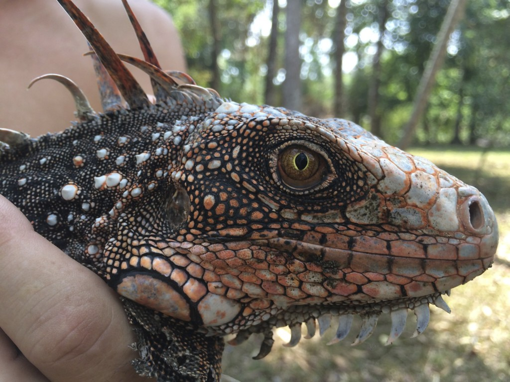 There were many tame iguanas at our campground so we got to hold this one and get a closeup shot.