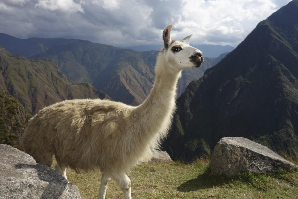 It is important to get llama photos while at Machu Picchu. We got the money shot with this one!
