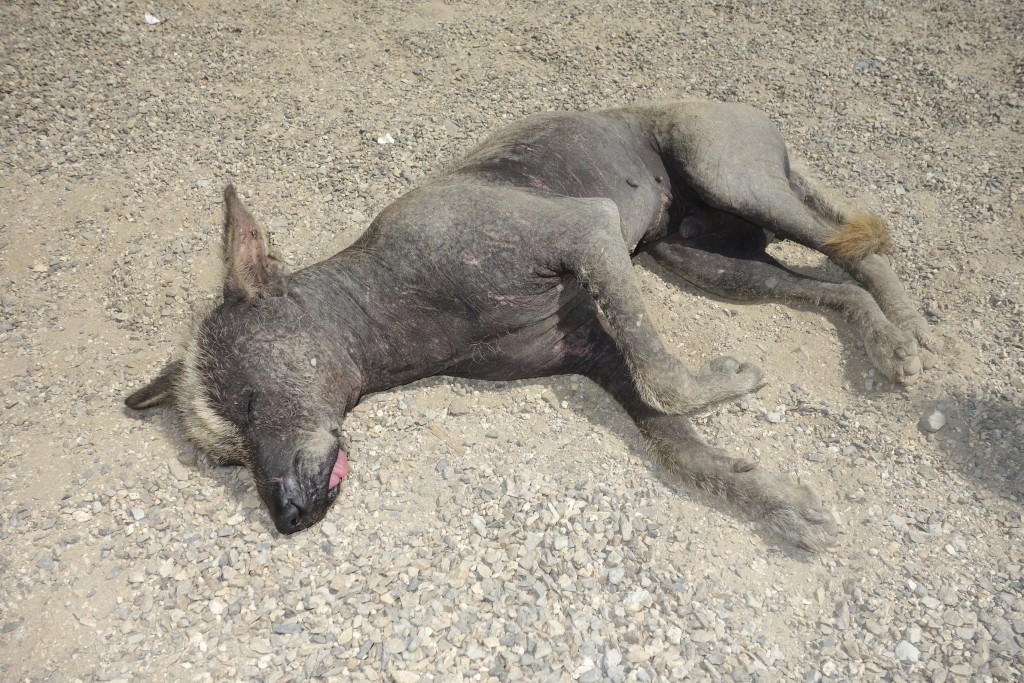 This is not a dead dog but is actually quite heathy. The Peruvian hairless dog, while not your classic beauty, is loved non-the-less all over Peru. The breed runs at higher temperature than normal dogs and the locals say they are the worlds best hot water bottle on a cold night.