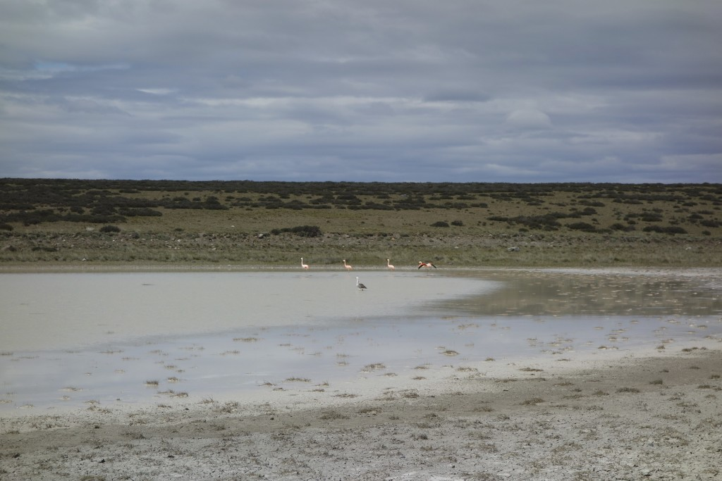 Times like this we wish we had a better camera. Pink flamingos live in some of the the most inhospitable places on earth. Between El Calafate and the frontier with Chile our shortcut took us on an 80 mile dirt road that passed many salt ponds filled with flamingos.