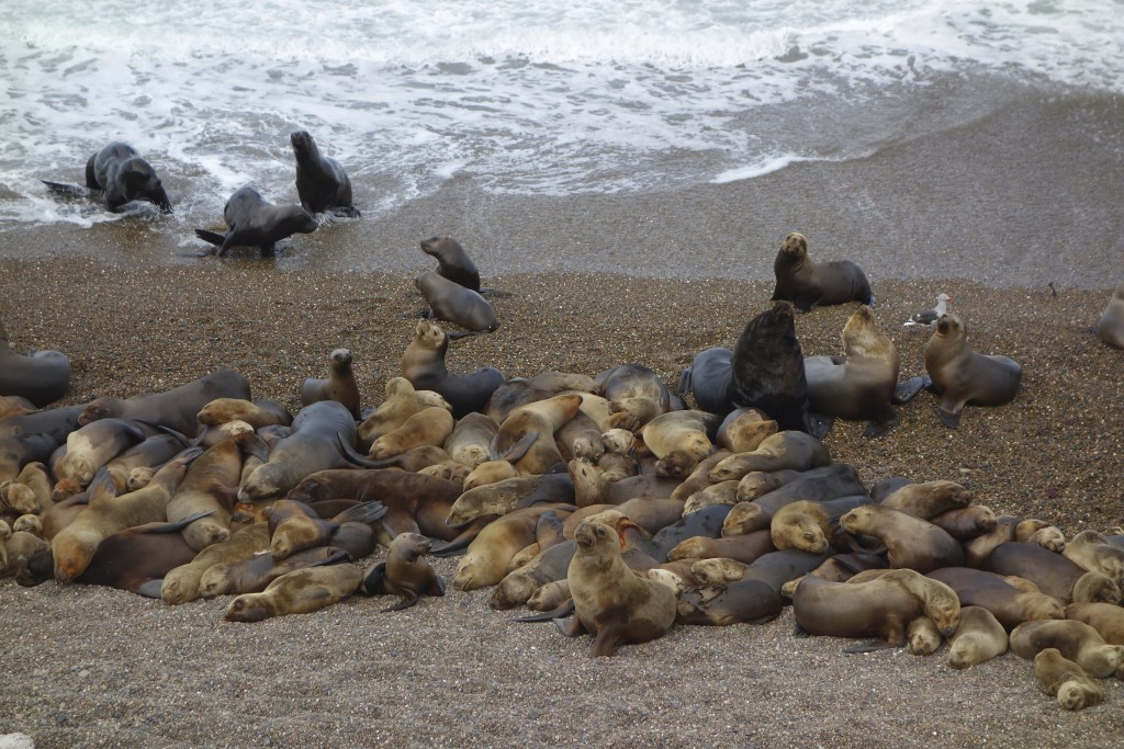 Naptime for women and children while the males bellow and pose. Atlantic Coast, Ruta 3, Argentina.