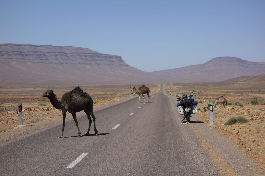Free range camels on the frontier with Algeria. Foum Zguid, Morocco.