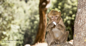 Monkeys feasting on tampons: Morocco part II