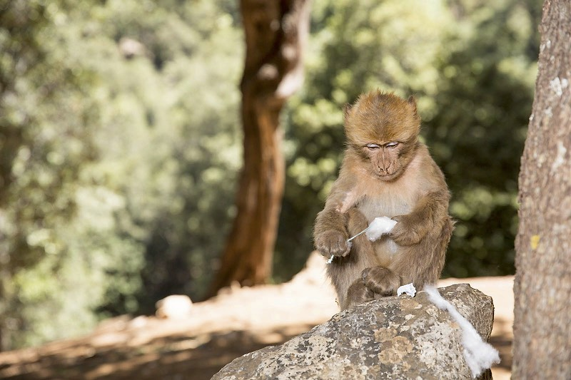The endangered Barbary Macaque is native to the Atlas Mountains. Their favorite food appears to be imported cotton tampons stolen from American tourists. Photo by Sheff Doc Photos (sheffdp.com)