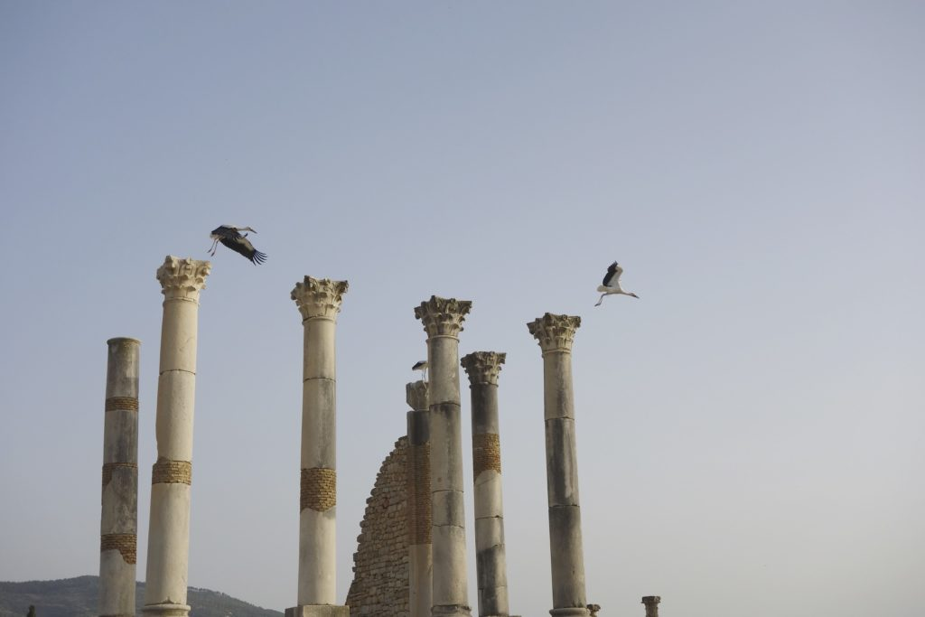 White storks take flight from the ancient Roman city of Volubilis.